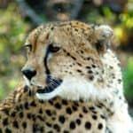 Cheetah viewing at Sabi Sand