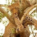 Leopard sighting at Sabi