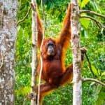 Female Borneo Orangutan at the Semenggoh Nature Reserve near Kuching, Malaysia.