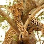 See Leopard on a honeymoon safari